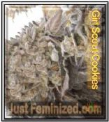 Feminized Girl Cookie Scout Cannabis Seeds for sale online